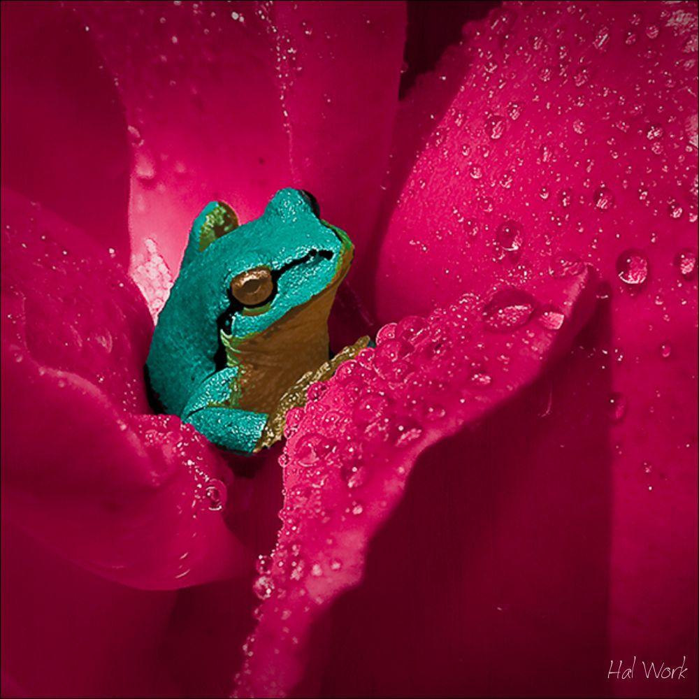rosefrog-b-2